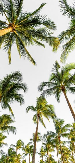 Palm Tree Wallpaper